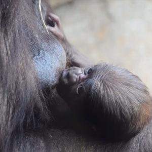 Avril 2019. Le bébé gorille né au BIOPARC de Valence a maintenant une semaine et il s'agit d'un mâle.