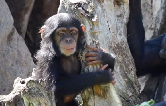 COCO, le bébé chimpanzé fête ses 10 mois au sein du BIOPARC de Valencia.